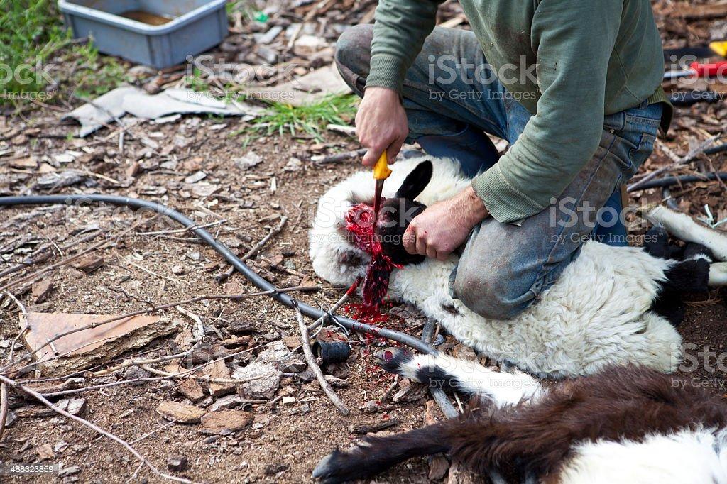 Lamb Killing stock photo