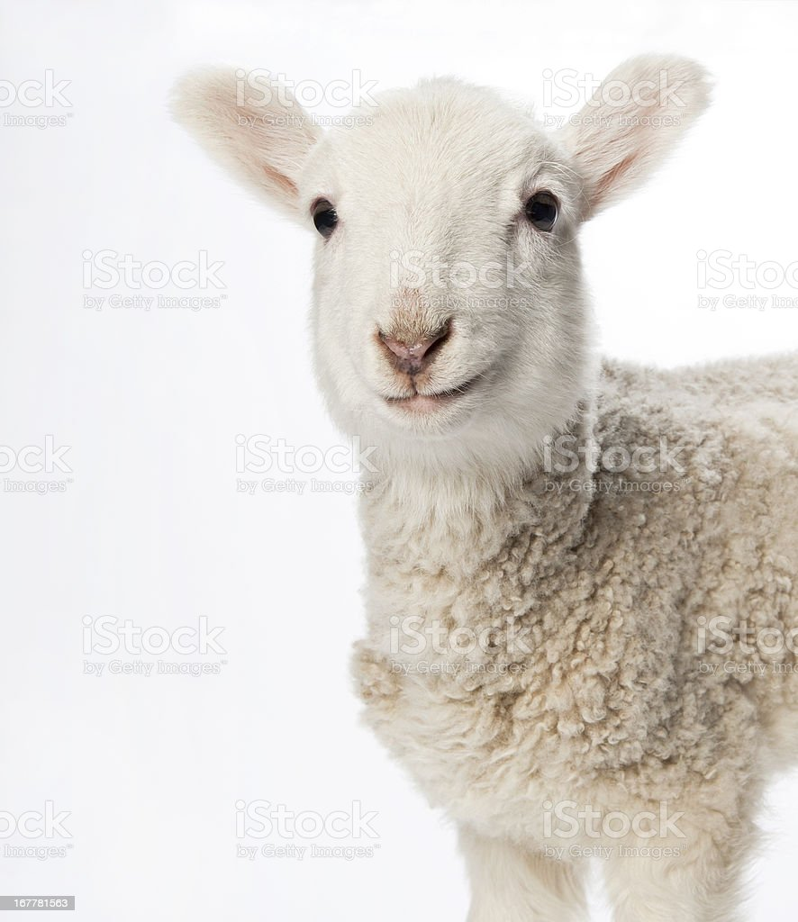 Lamb looking at camera on a light background. stock photo
