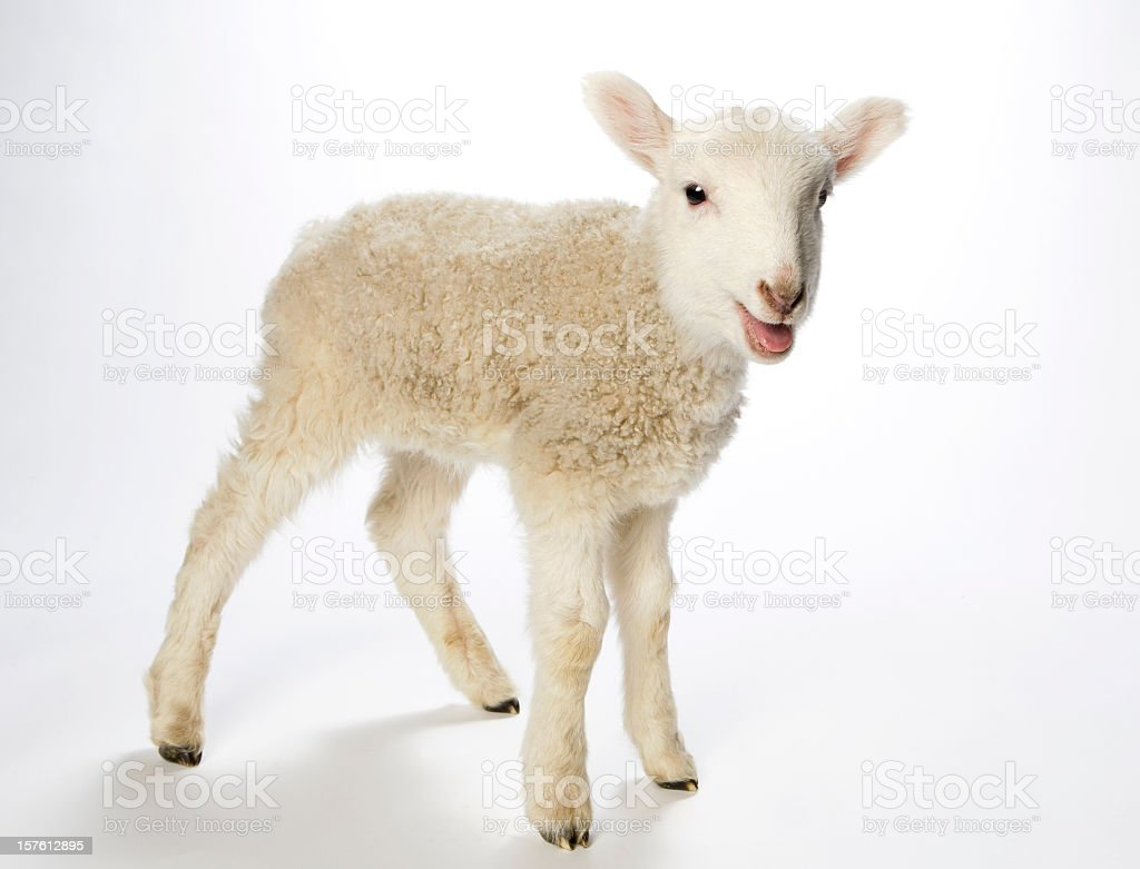 Lamb looking at the camera on a white background stock photo