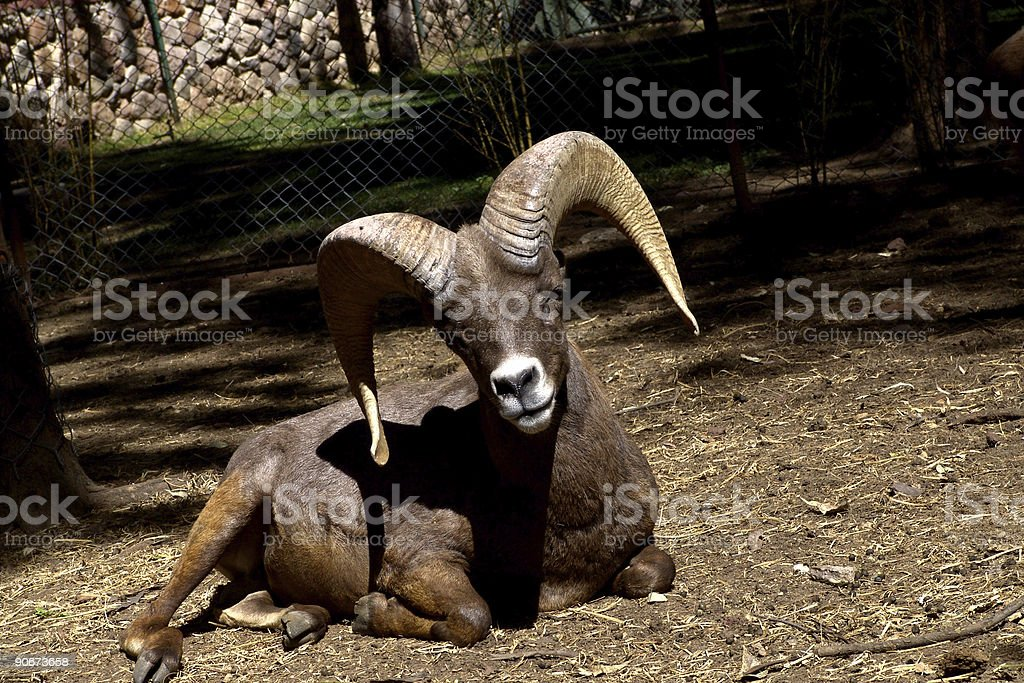 Lamb Muflon royalty-free stock photo