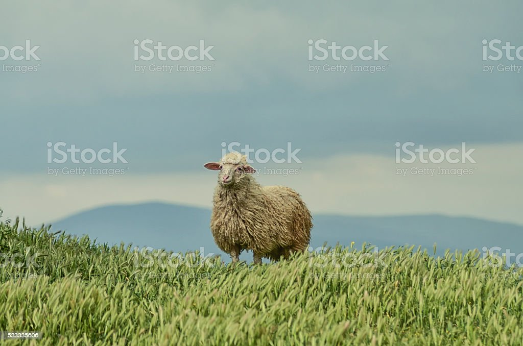 lamb on a background of sky and fields stock photo