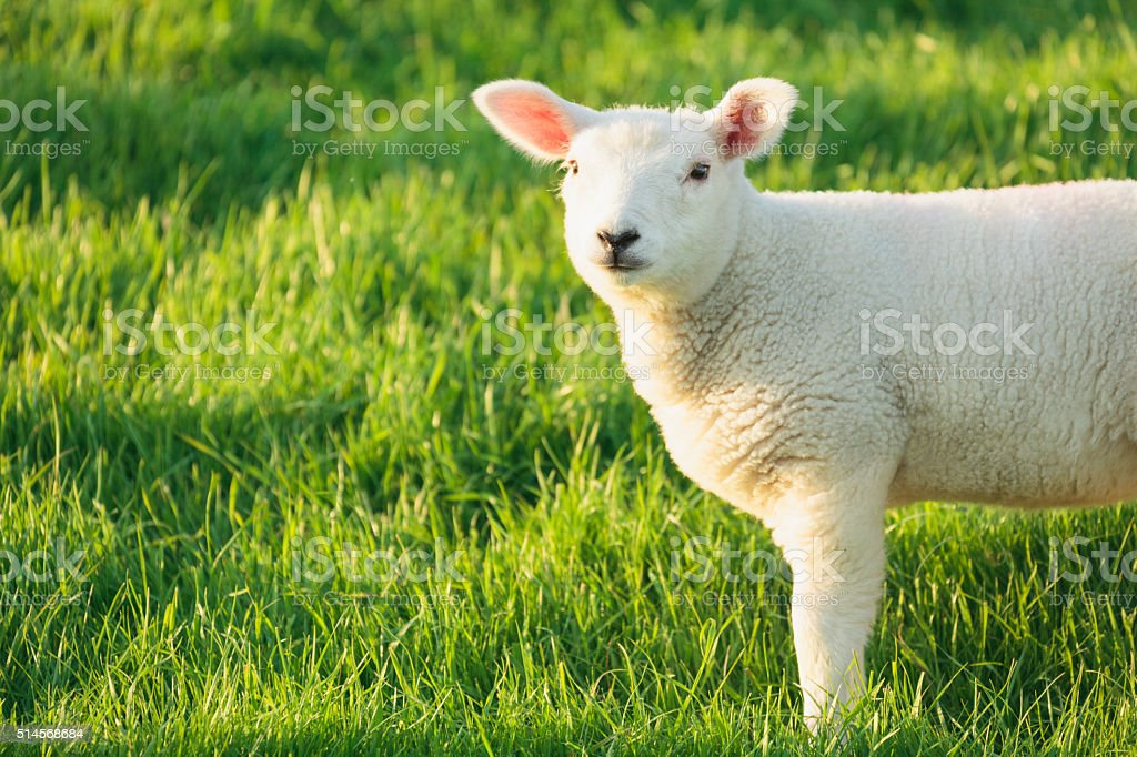 Lamb on a green meadow in spring. stock photo