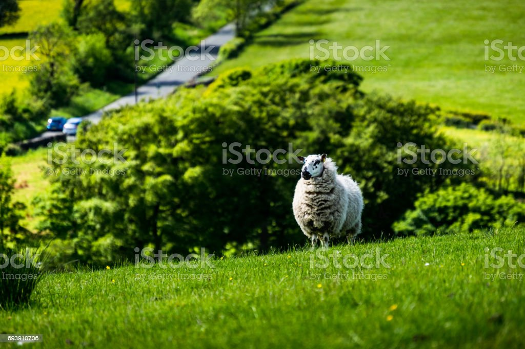 Lamb on the hill stock photo