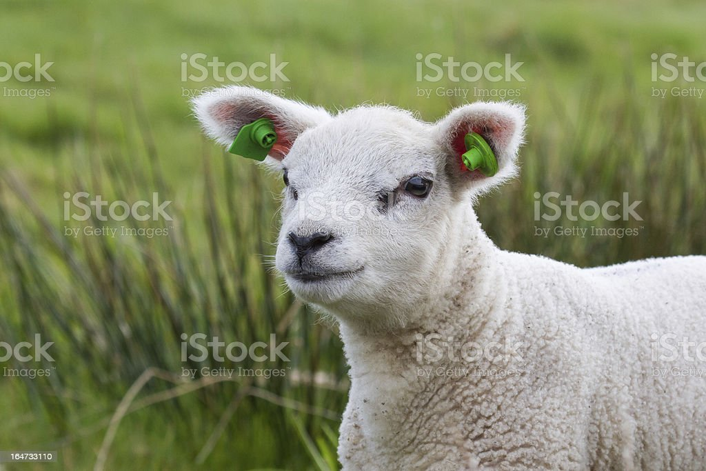 Lamb portret with green grass royalty-free stock photo