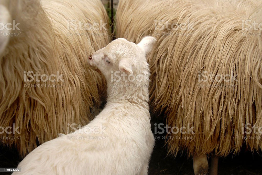 Lamb / Sheep stock photo