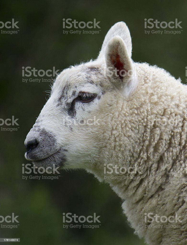 Lamb - side view royalty-free stock photo