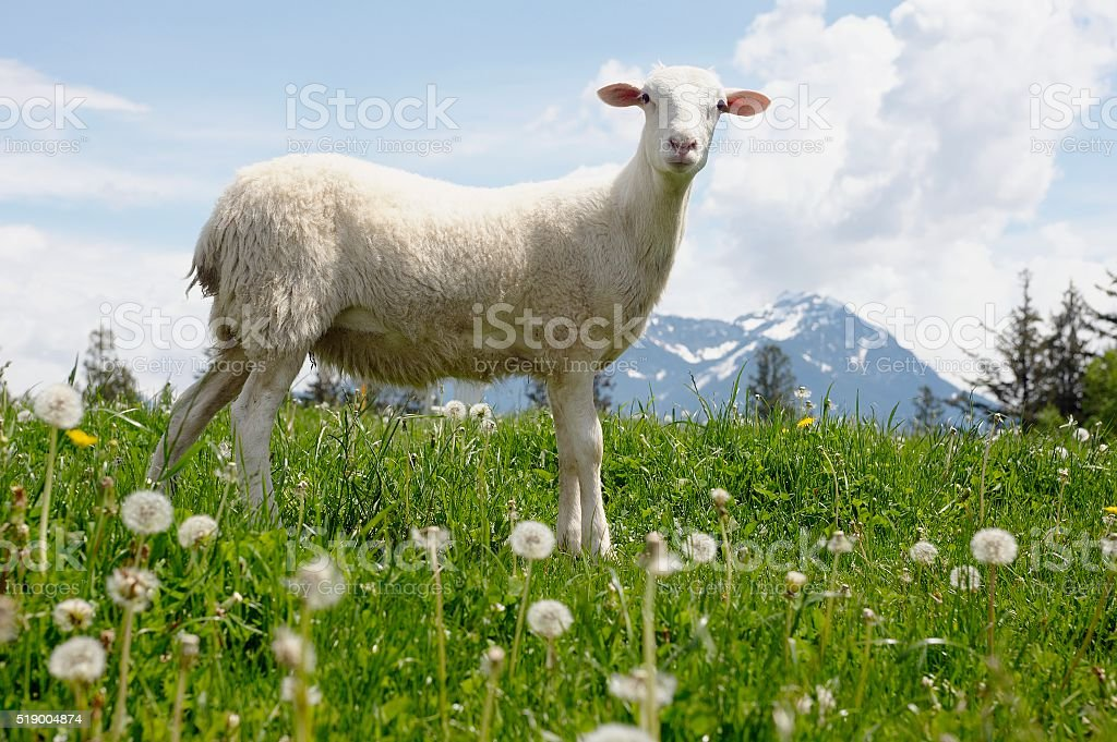 Lamb standing on grass in pasture stock photo