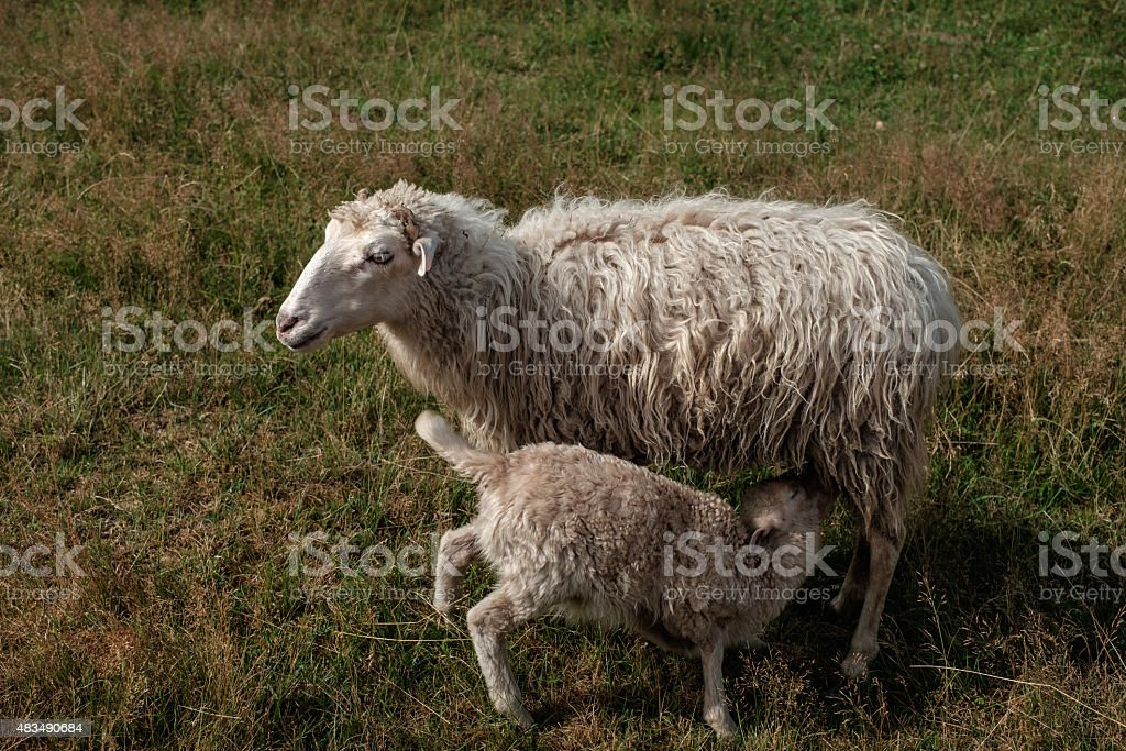 Lamb suckling his mother. stock photo