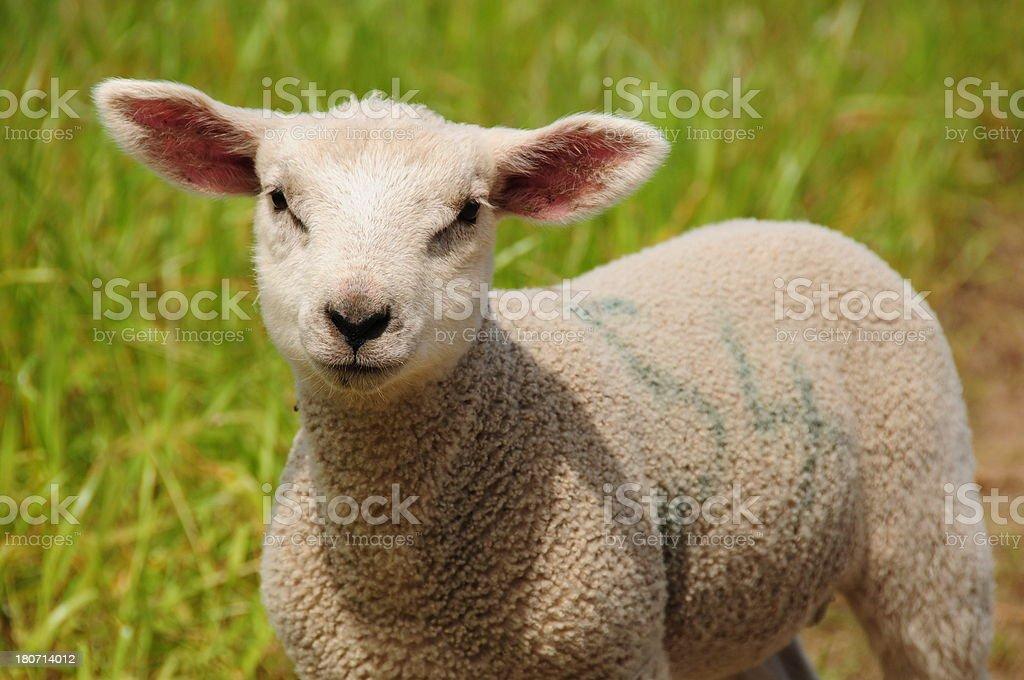 Lamb, U.K. royalty-free stock photo