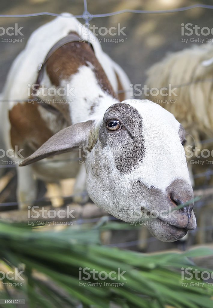 Lamb wants to eat grass royalty-free stock photo