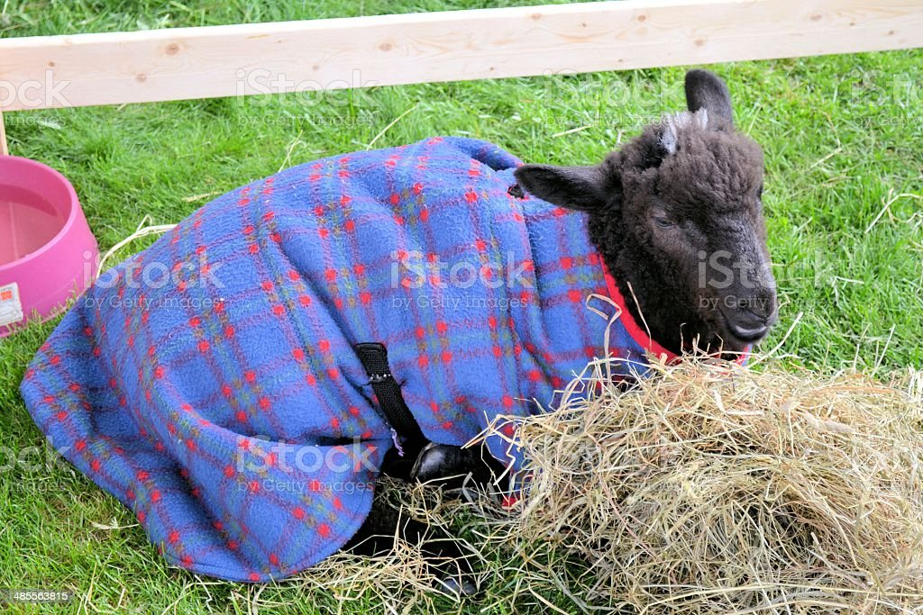 Lamb Wearing a Fleece Jacket, Massachusetts stock photo