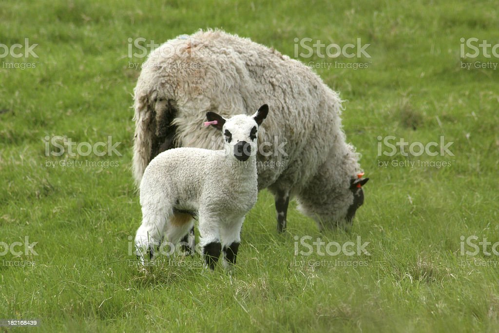 lamb with mother royalty-free stock photo