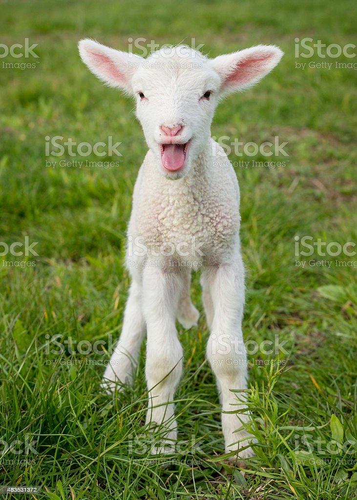 lamb1 stock photo