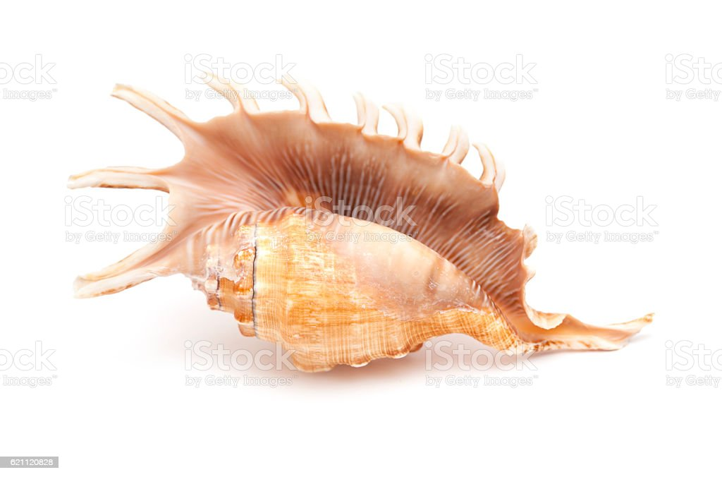Lambis , spider conch shell stock photo