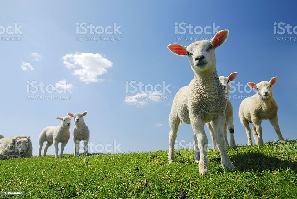 Lambs and a sheep on green grass with a blue sky stock photo
