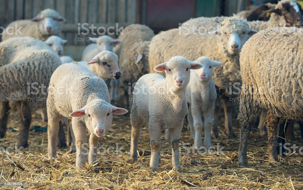 Lambs and sheep at farm stock photo
