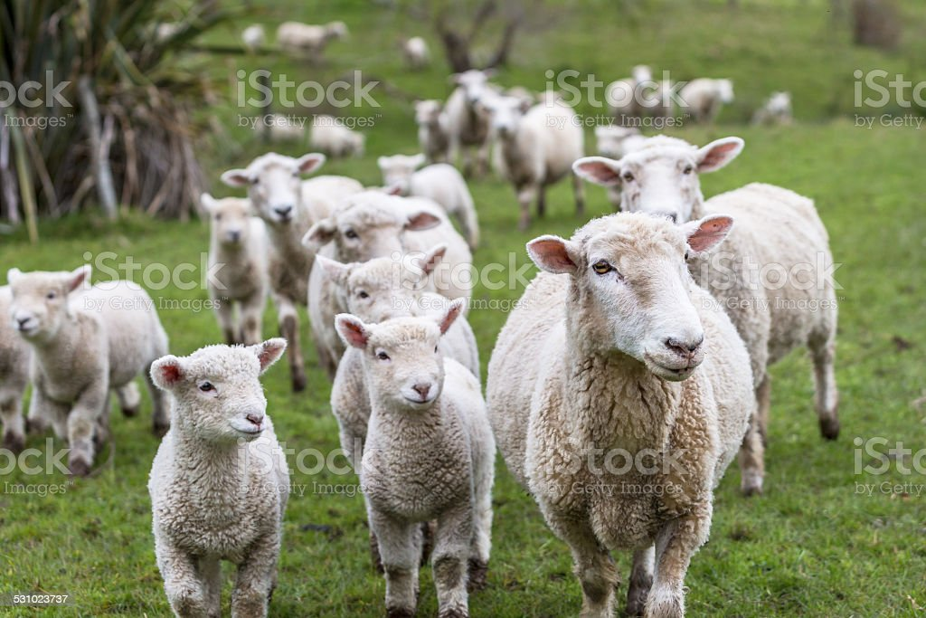 Lambs and Sheep stock photo