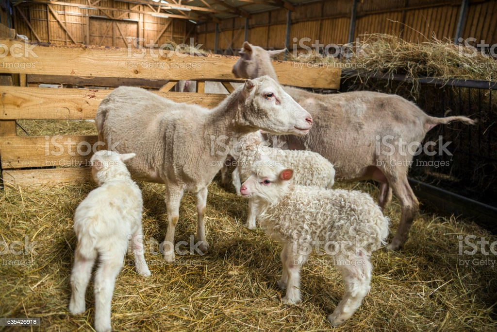 Lambs and sheeps in barn stock photo