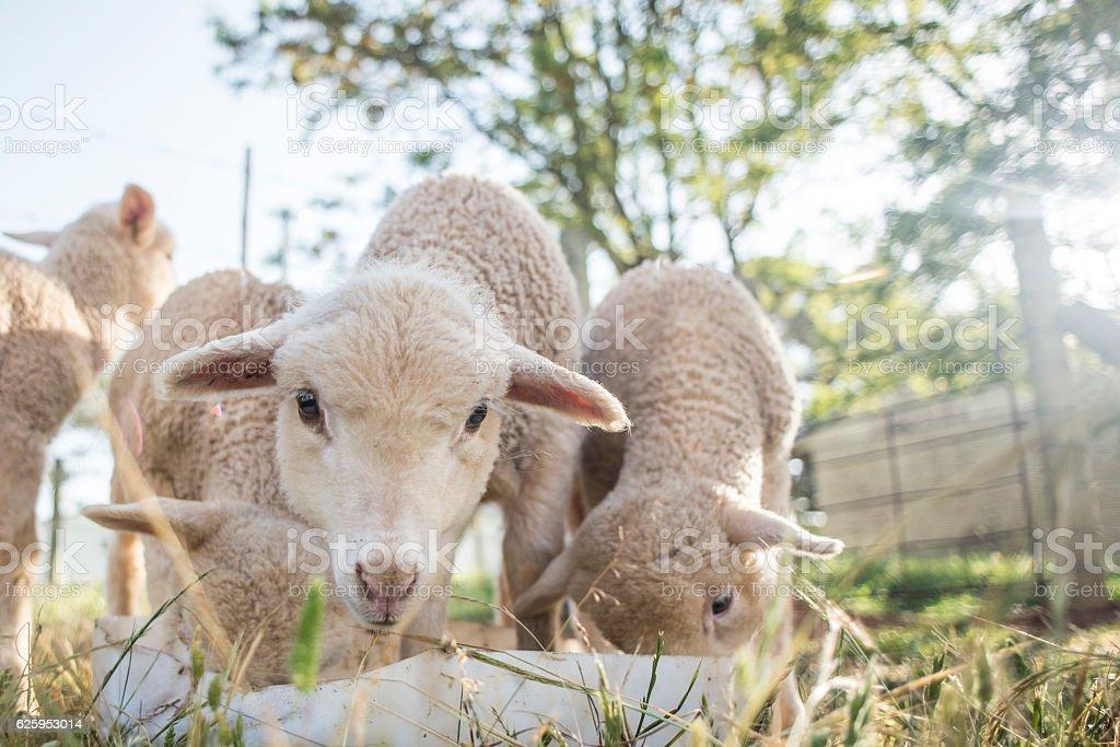 Lambs at the Feeding Pen stock photo