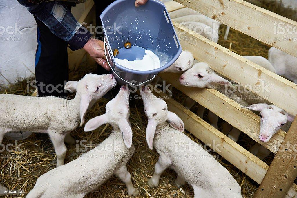 Lambs drinking milk from bucket on farm stock photo