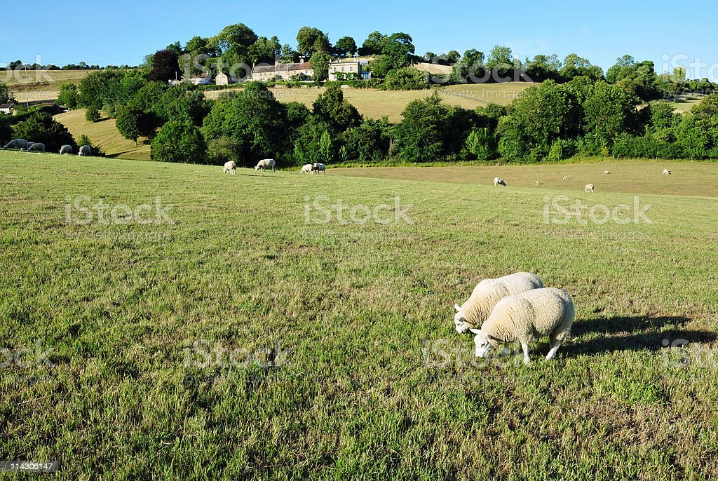 Lambs Grazing in a Green Field royalty-free stock photo