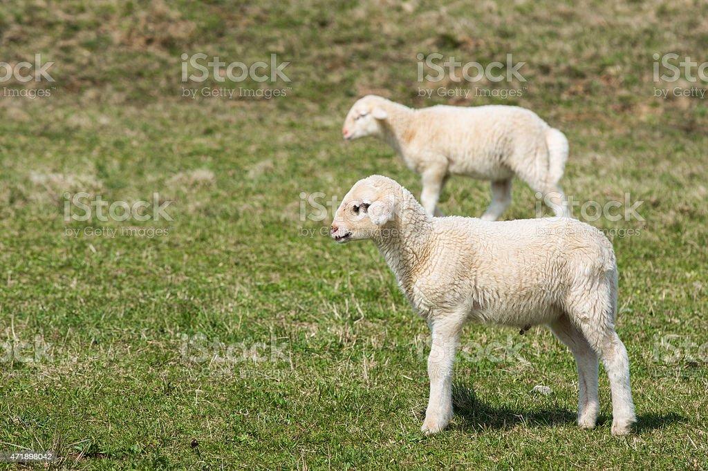 Lambs grazing on green pasture stock photo