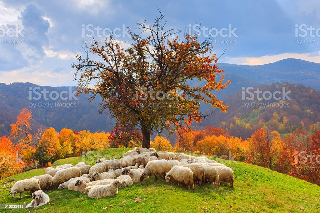 Lambs in the autumn in the mountains stock photo