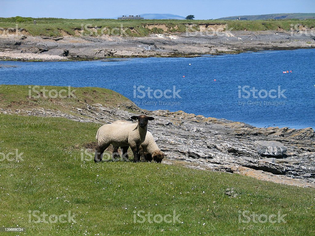 Lambs in Wexford, Ireland royalty-free stock photo