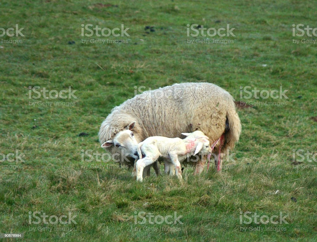 Lambs - Just born stock photo
