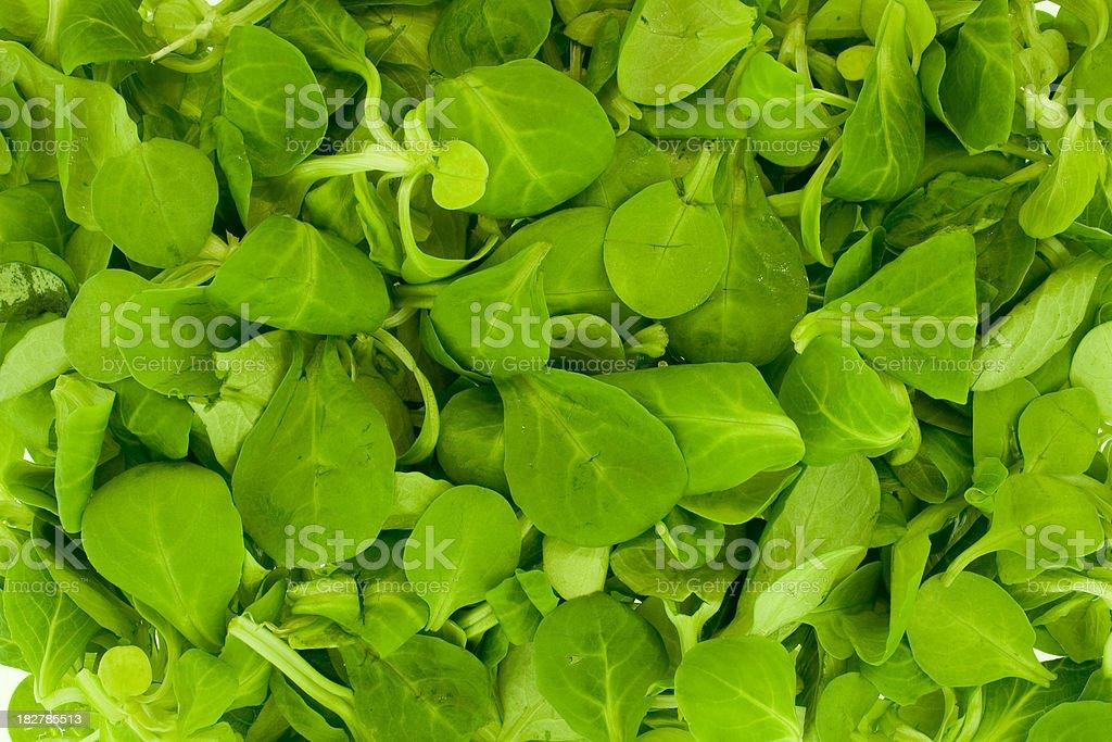 Lamb's Leaf Lettuce royalty-free stock photo