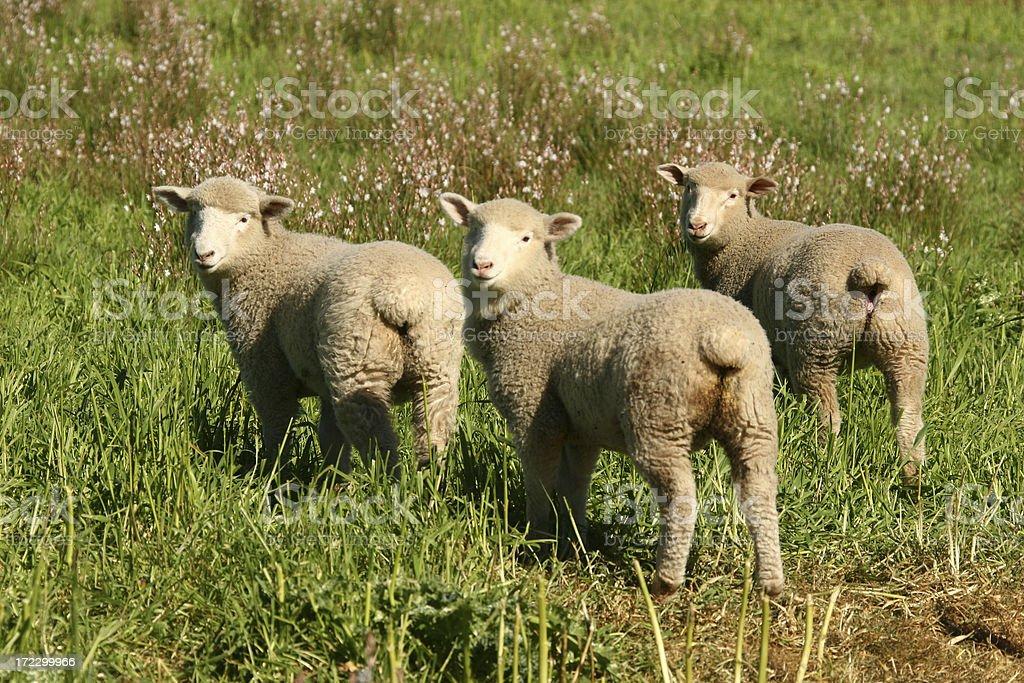 Lambs Looking Back stock photo