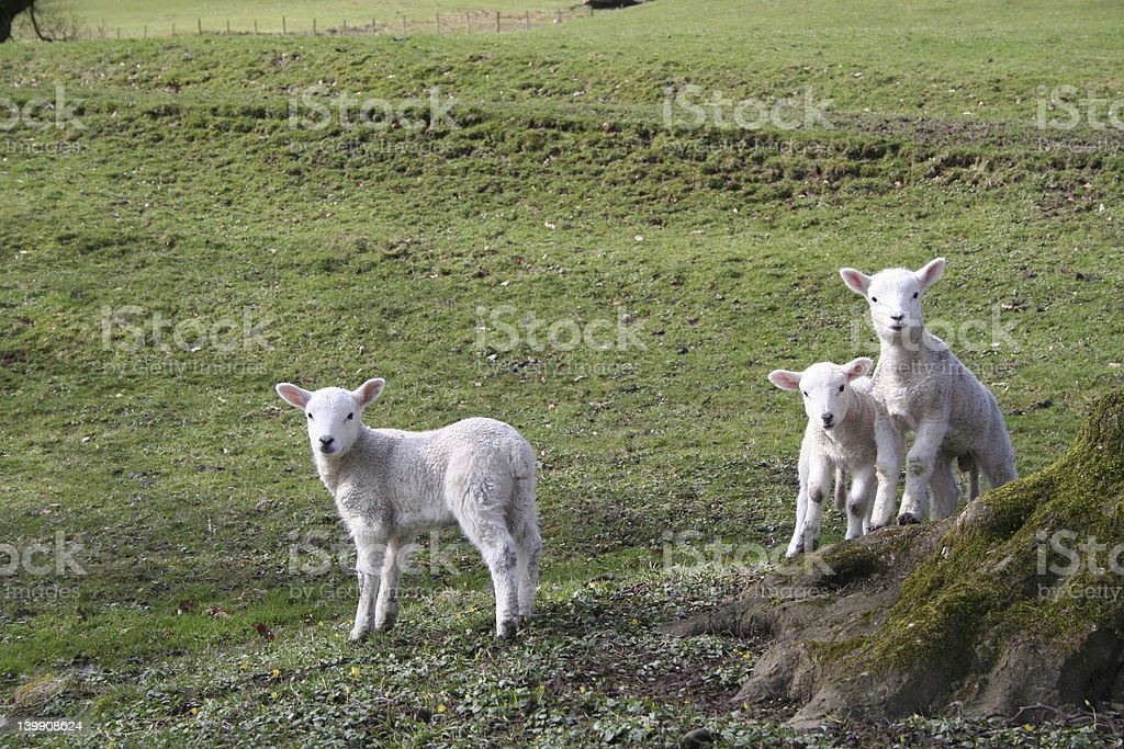 Lambs on Lookout stock photo