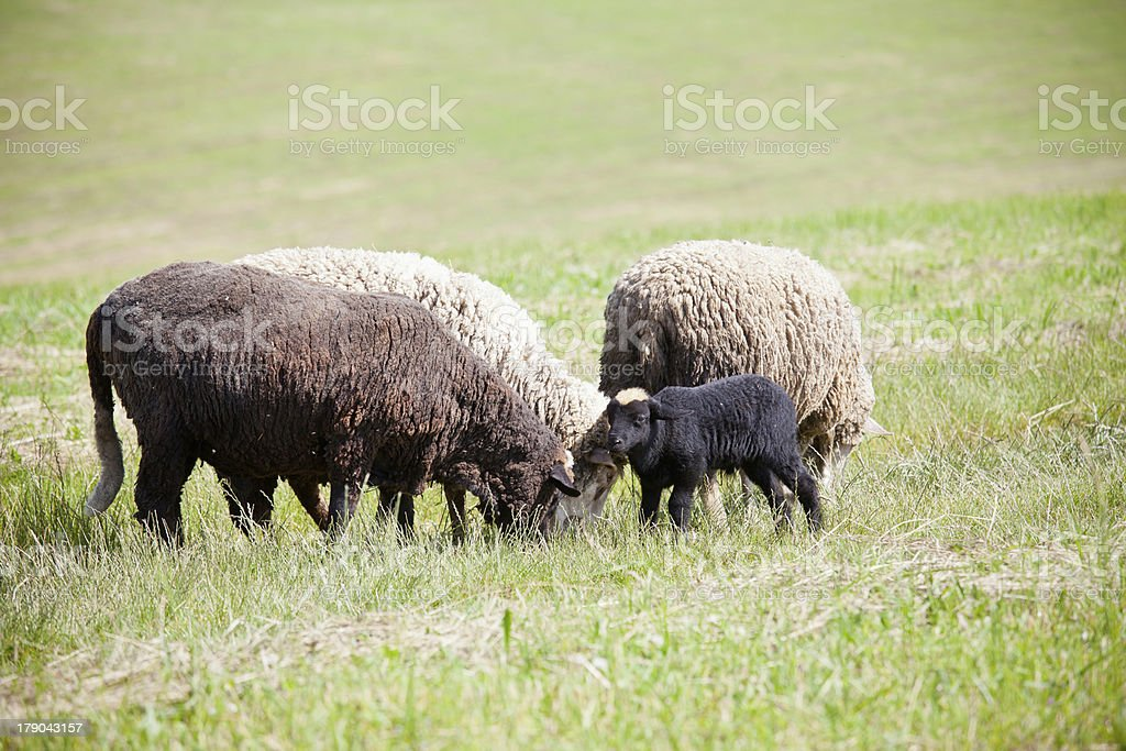 Lambs royalty-free stock photo