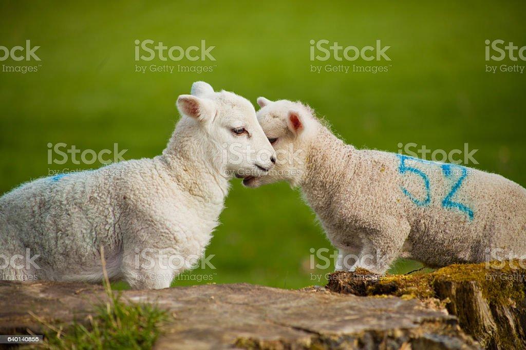 Lambs stock photo