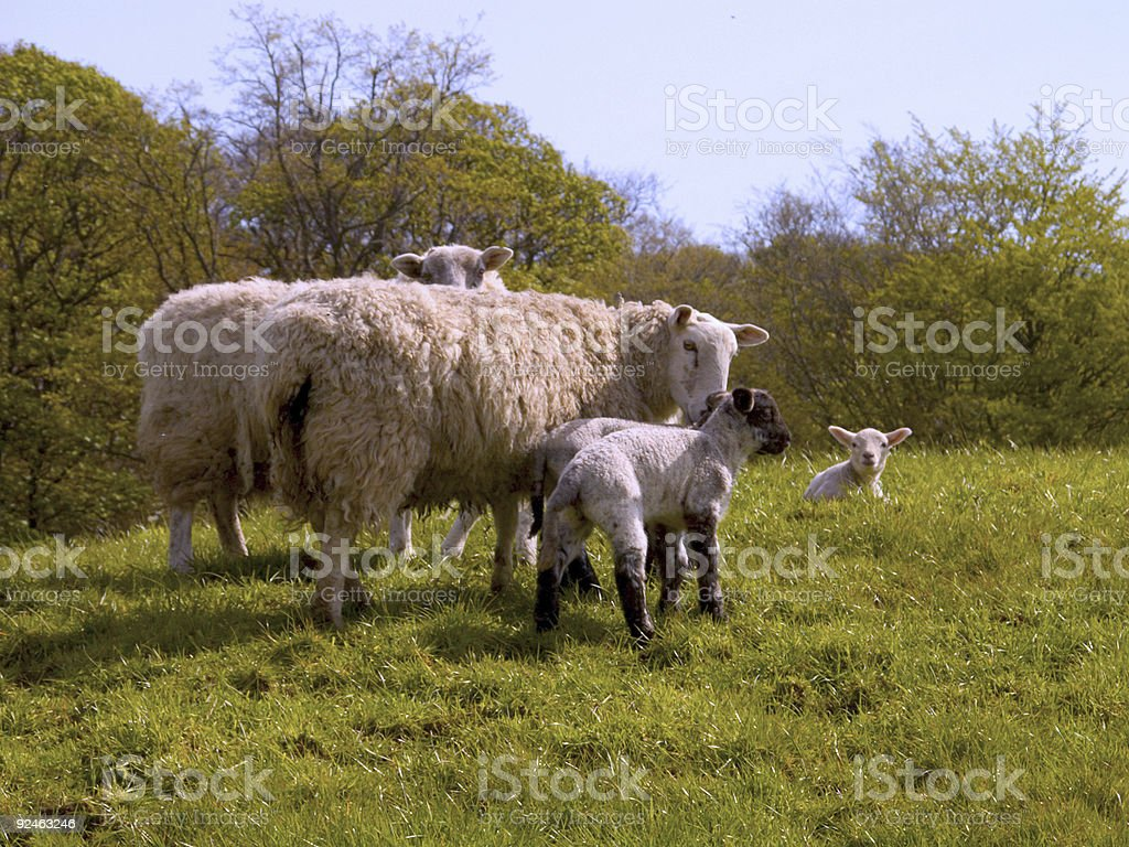 Lambs photo libre de droits