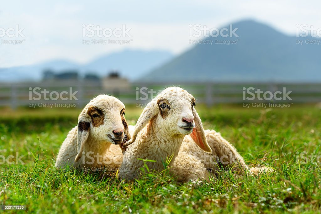 Lambs were on the grass field with mountain background stock photo