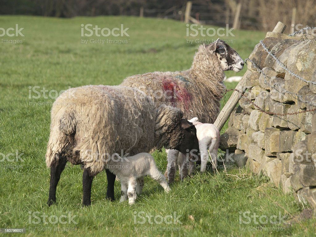 Lambs with mothers royalty-free stock photo