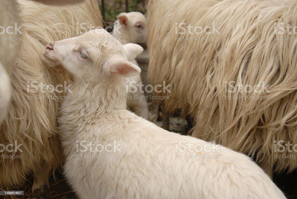 Lamb/Sheep stock photo