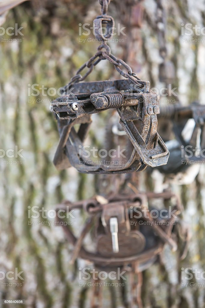 Laminated Foot Hold Traps For Coyote Hanging in Tree stock photo