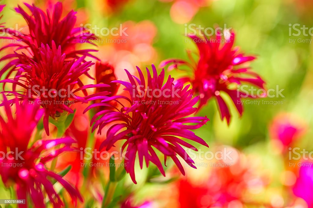 Lampranthus flowers stock photo
