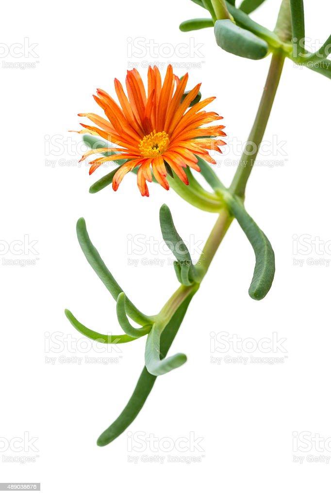 Lampranthus ice plant stock photo