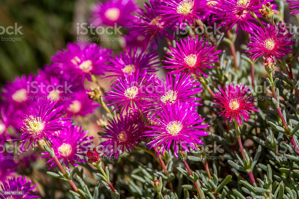Lampranthus - magenta flowers with succulent leaves in parks of stock photo