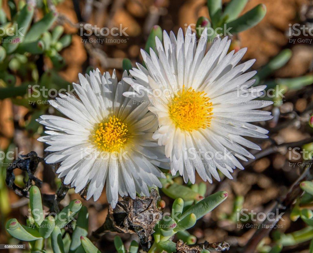 Lampranthus reptans stock photo