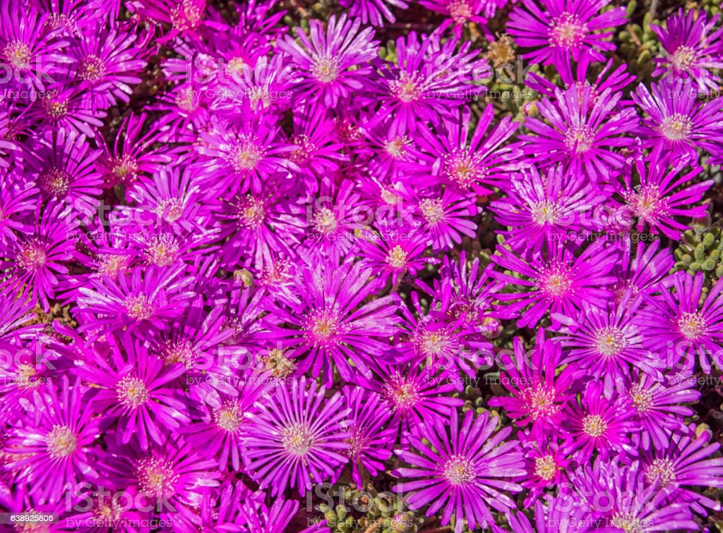 Lampranthus vernalis stock photo