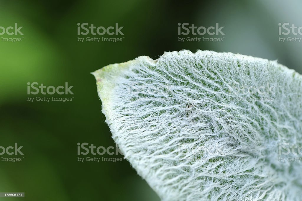 Lanate Lamb's Ear Leaf Close-Up stock photo