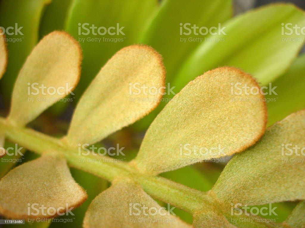 Lanate Leaves Background stock photo