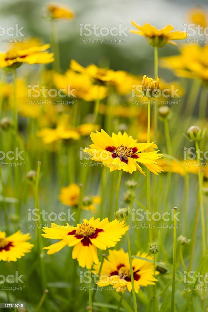 Lance-Leaved Tickseed flowers stock photo