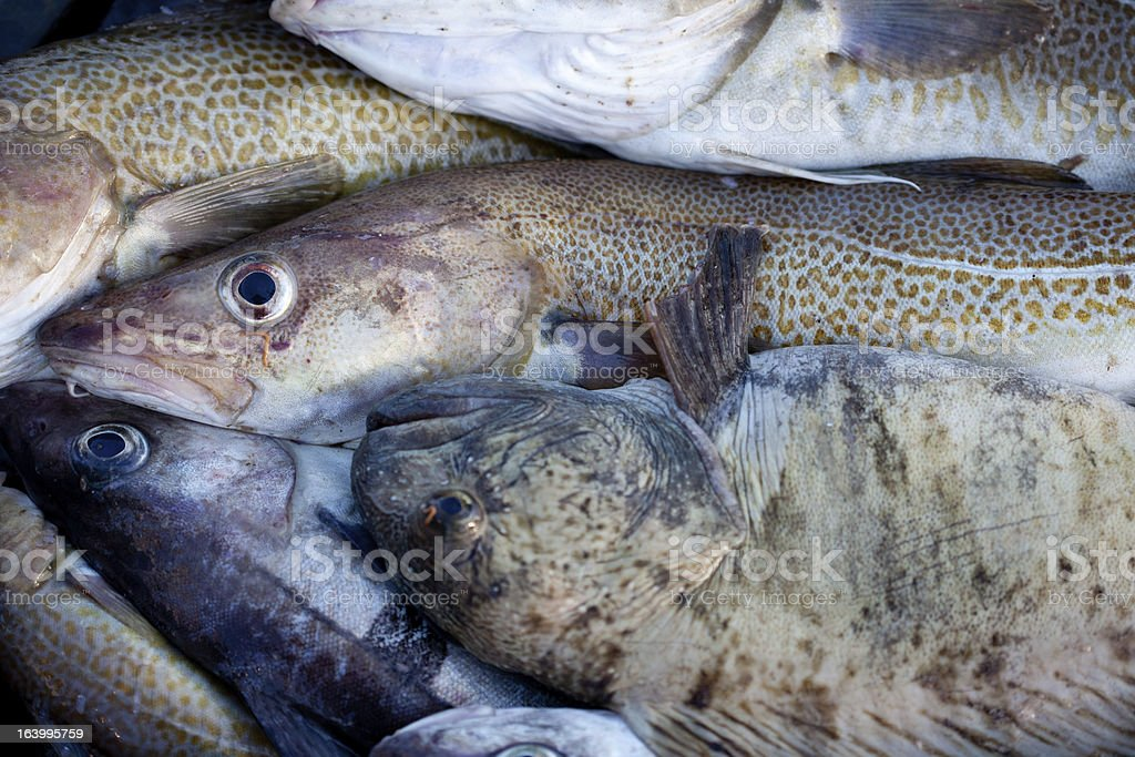 Lancet fish and cod royalty-free stock photo