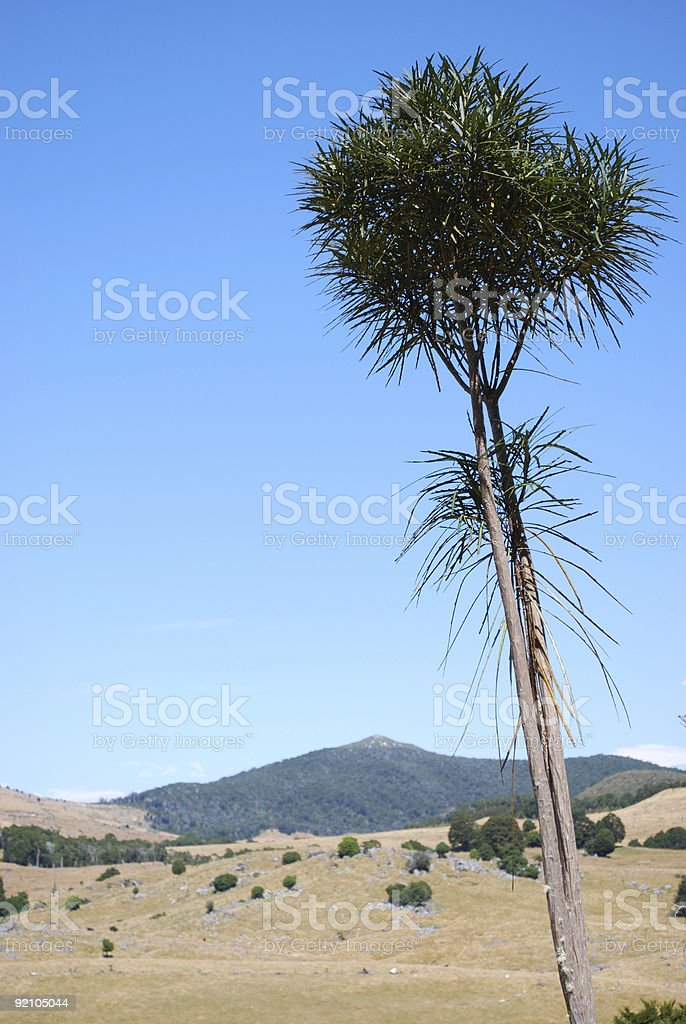 Lancewood Tree, Canaan Downs, Abel Tasman National Park, NZ stock photo