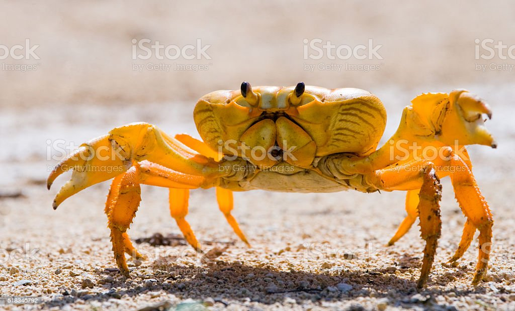 Land crab spread its claws stock photo